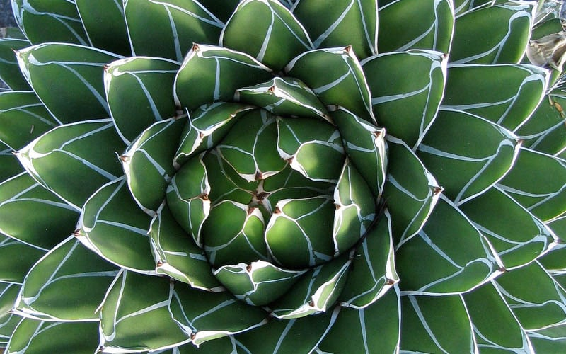 tropical plant - agave